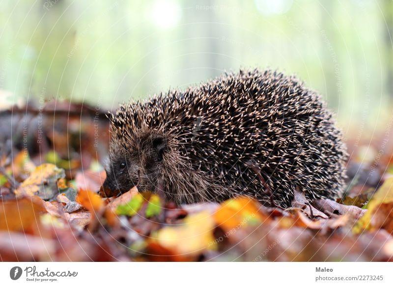 Igel Natur Tier Wald Wildtier Tiergesicht 1 krabbeln Farbfoto Außenaufnahme Tag Schwache Tiefenschärfe Blatt Herbst
