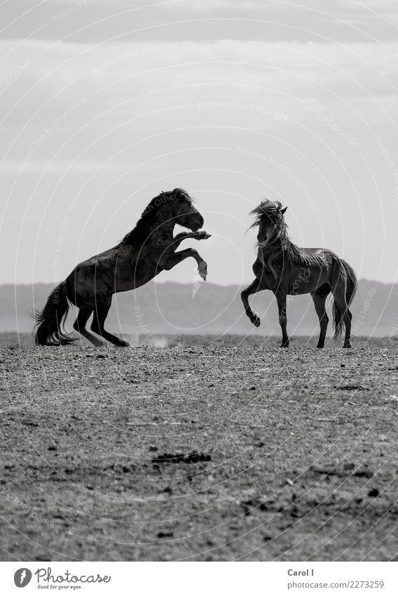 Tanz der Pferde Lifestyle Ferien & Urlaub & Reisen Abenteuer Ferne Reitsport Tanzen Umwelt Natur Landschaft Feld Tier Wildtier Fell 2 Tierpaar rennen schön