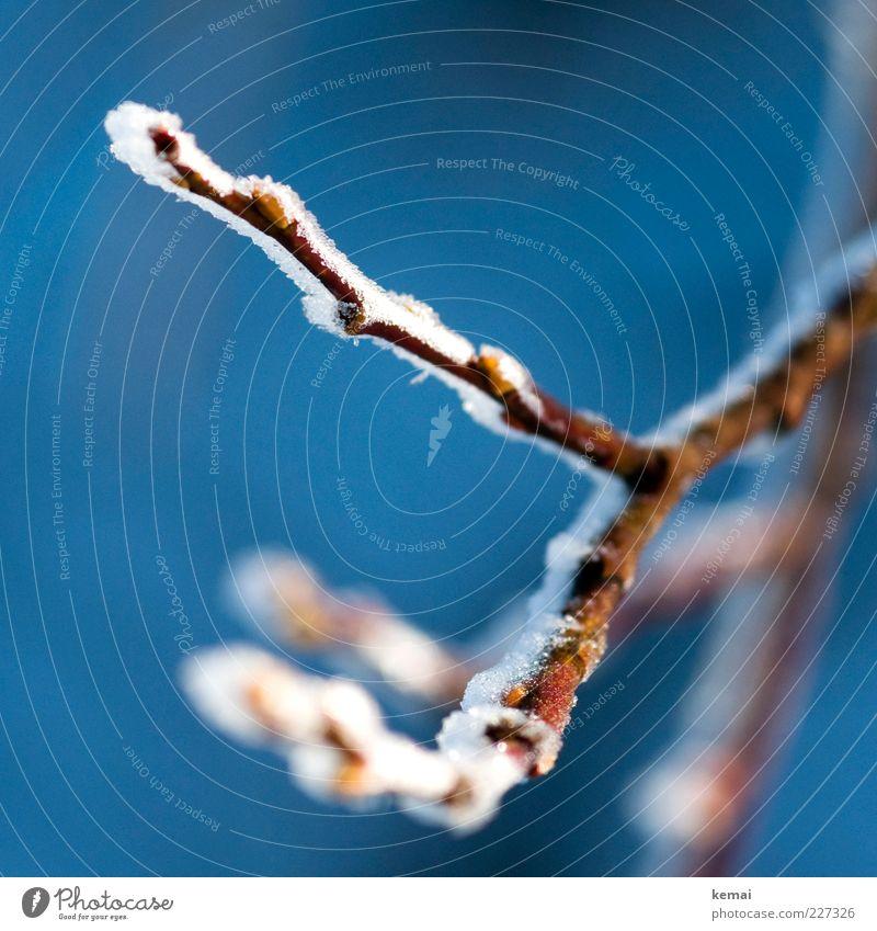 Gefrosteter Zweig Natur blau Pflanze Winter kalt Umwelt Eis Sträucher Frost Ast gefroren Schönes Wetter Textfreiraum Eiskristall Grünpflanze
