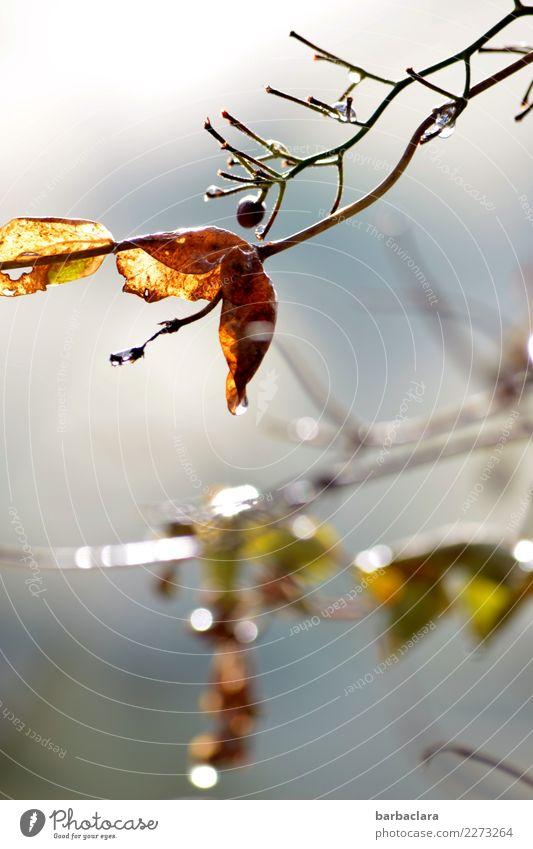leise Weise Natur Pflanze Wassertropfen Himmel Winter Sträucher Blatt Beere Garten leuchten hell Gefühle Stimmung Sehnsucht Klima Vergänglichkeit