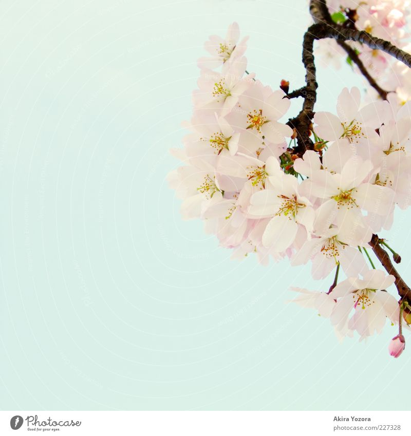 Ein Hauch Frühling Natur Pflanze Himmel Wolkenloser Himmel Schönes Wetter Blüte Kirschbaum Kirschblüten Blühend Wachstum ästhetisch hell schön natürlich blau