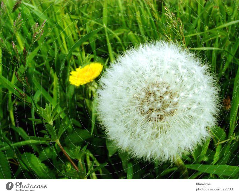 Kuschelblume Natur weiß grün schön Pflanze Sommer Blume gelb Wiese Gras Blüte Frühling frisch einfach weich Löwenzahn