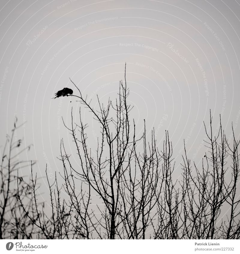 from dusk till dawn Natur Baum Pflanze Tier schwarz dunkel Umwelt grau Luft Stimmung Vogel sitzen Wildtier außergewöhnlich Ast gruselig