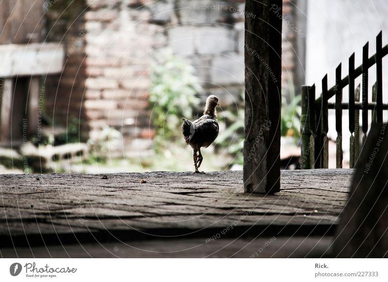 .Lonesome Chicken Natur Tier Menschenleer Nutztier Vogel Krallen 1 Tierjunges Stein Holz laufen frei Neugier Gefühle Einsamkeit Perspektive ruhig Schwäche