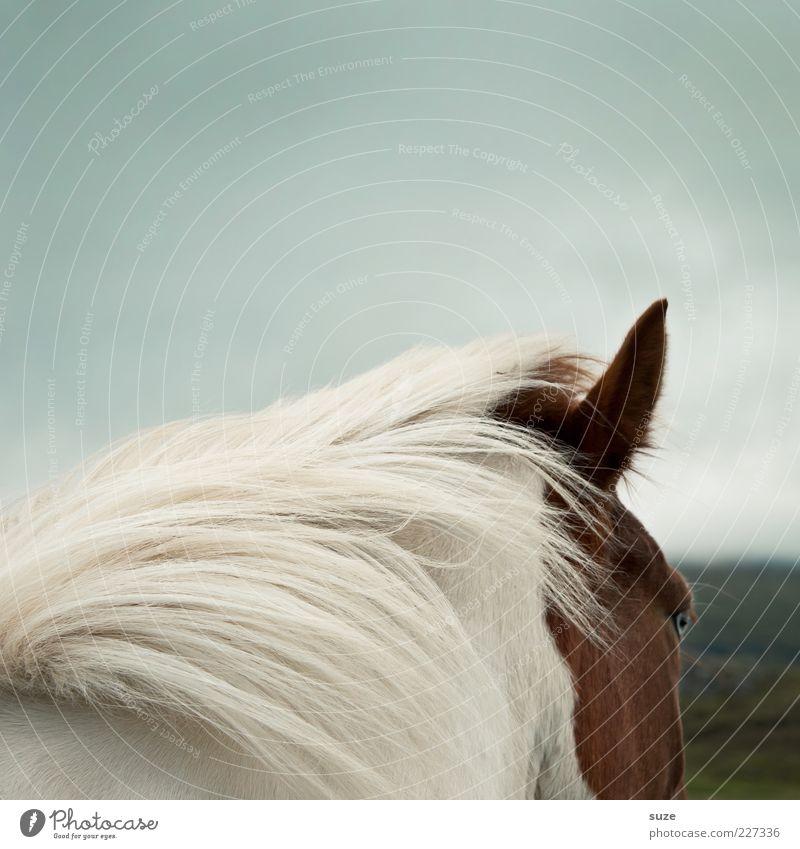 Blick von hinten Himmel weiß Tier Auge Stimmung braun Wind ästhetisch wild natürlich Wildtier Pferd Ohr Island Wachsamkeit Ponys