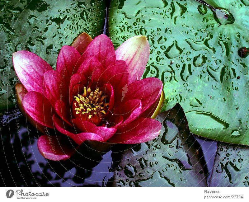 in voller Blüte Seerosen Blume Rose Pflanze Teich Wasser Wassertropfen