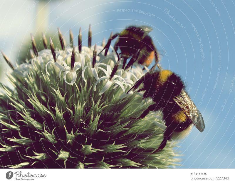 Hummeln bei der Arbeit. Natur blau grün Pflanze Tier schwarz gelb Blüte Hummel Nektar