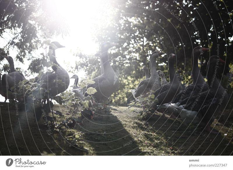 Hand in Hand im Gänseland Natur Pflanze Tier Sonne Schönes Wetter Baum Gras Sträucher Wildtier Gans Tiergruppe Schwarm hell Zusammensein Außenaufnahme Morgen