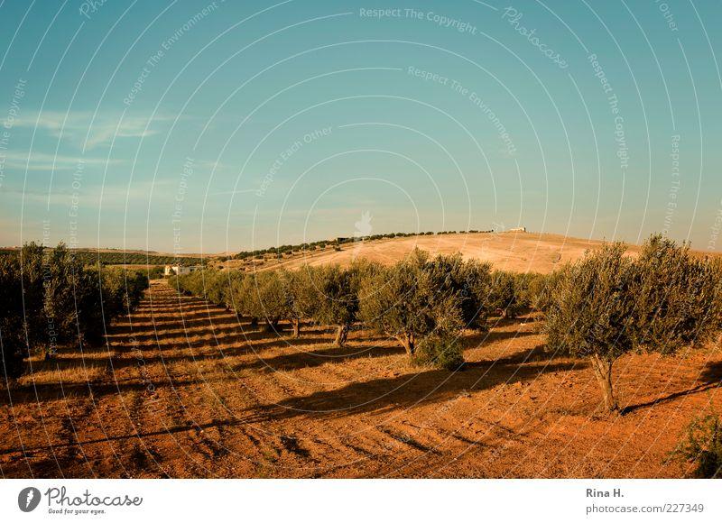 Olivenhain blau Sommer gelb Herbst Landschaft braun Erde Reisefotografie Hügel Landwirtschaft Baum Forstwirtschaft Nutzpflanze Tunesien Olivenbaum