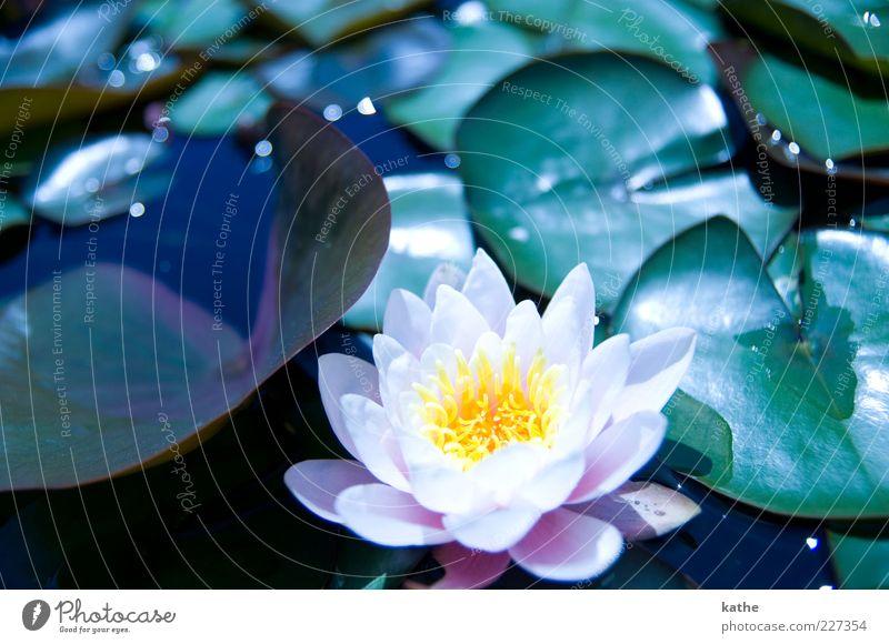 Lotuseffekt Natur Pflanze Wasser Sommer Blume Blatt Grünpflanze exotisch Teich See grün rosa schön mehrfarbig Außenaufnahme Nahaufnahme Licht