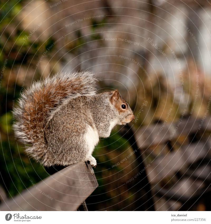 Pause Natur schön ruhig Tier sitzen Schwanz Eichhörnchen hockend