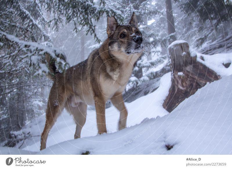 Wolfshund im Winter Zauberwald Umwelt Natur Landschaft Klima Wetter Nebel Eis Frost Schnee Schneefall Baum Tannenzweig Wald Tier Haustier Wildtier Hund 1