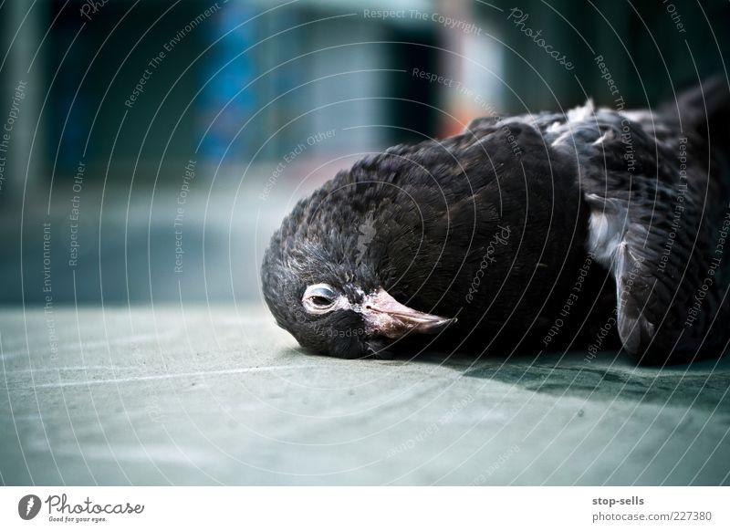 irgendwann ist jeder dran blau Tier schwarz Tod Kopf Vogel liegen Wildtier Feder Taube Unfall Schnabel bewegungslos Totes Tier