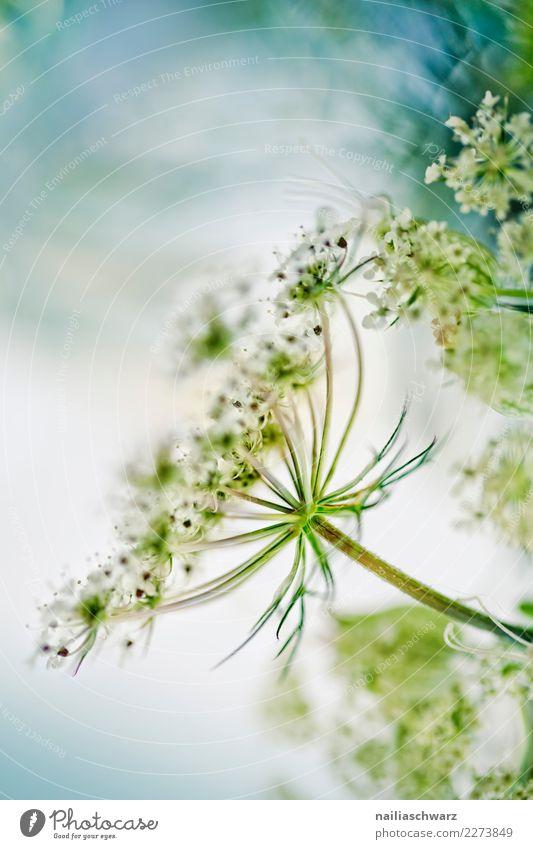 Wiesen-Bärenklau Sommer Umwelt Natur Pflanze Frühling Blume Blüte Wildpflanze Heracleum sphondylium Gemeine Bärenklau Doldenblütler Garten Park Feld Blühend
