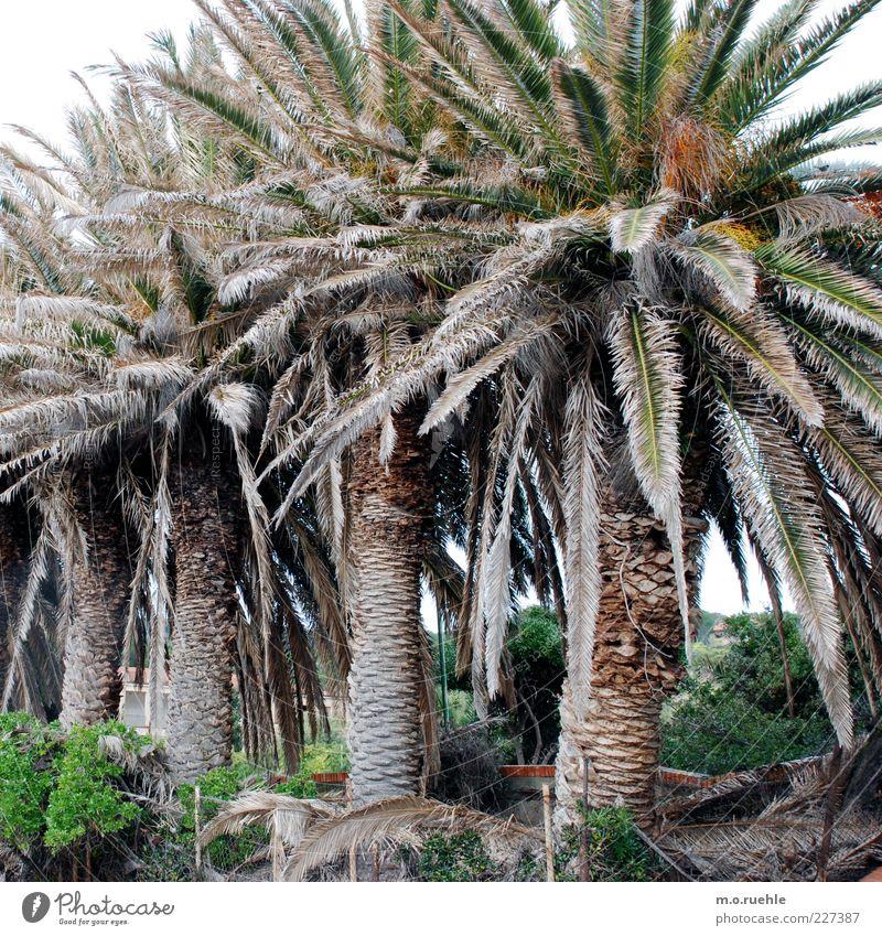 Arecales Natur grün Pflanze Umwelt groß natürlich Reihe Palme exotisch Sardinien Palmenwedel Reihenfolge nebeneinander