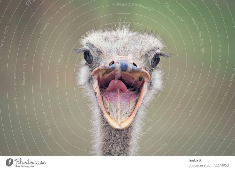 Sag Cheese! Natur Tier Afrika Afrikanisch Wüste Savanne Nutztier Wildtier Vogel Tiergesicht Zoo Strauß Mund Offener Mund Lächeln 1 frei Freundlichkeit