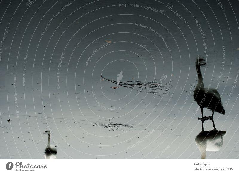 black swan Umwelt Natur Wasser Winter Klima Eis Frost Teich See Vogel Schwan 2 Tier Tierpaar stehen Eisfläche Reflexion & Spiegelung weiß Glatteis Farbfoto