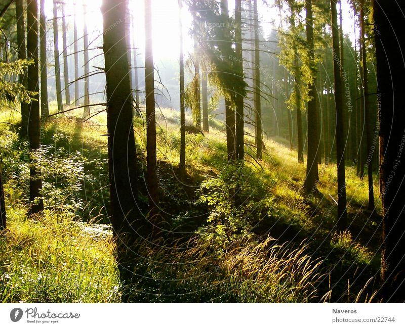 Ein Morgen im Wald Natur Baum Sonne Berge u. Gebirge Holz Berghang Nadelbaum Fichte