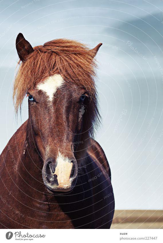 Ponys Pony Natur Landschaft Tier Himmel Wolken Wind Nutztier Wildtier Pferd Tiergesicht 1 ästhetisch Freundlichkeit natürlich wild Stimmung Mähne Island