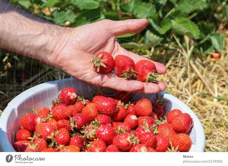 Erdbeeren frisch Hand Beeren Ernte Feld rot lecker süß Vitamin Sommer Garten reif Gesunde Ernährung Frucht geschmackvoll Lebensmittel Dessert saftig Natur Blatt