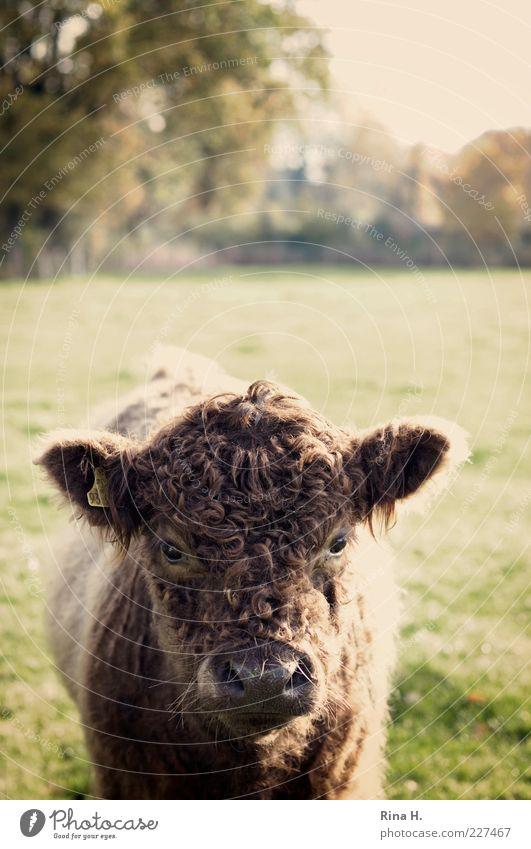 Was guckst du ! Natur Landschaft Feld Haustier Nutztier Rind Galloway 1 Tier frech Neugier Tierporträt Farbfoto Menschenleer Schwache Tiefenschärfe Tierjunges