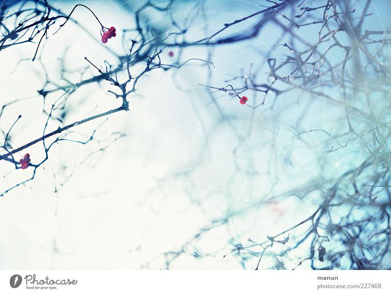 Gestrüpp Natur blau Winter hell Eis Nebel frisch ästhetisch Frost außergewöhnlich Schönes Wetter Surrealismus Beeren Geäst Zweige u. Äste abstrakt