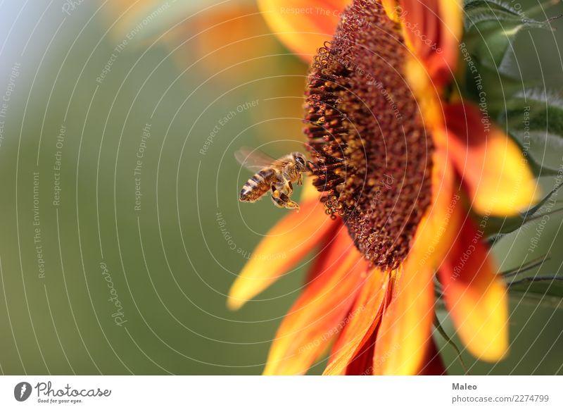 Biene Nektar Blume Honig Insekt Natur Tier klein Makroaufnahme Garten Fliege Pollen grün Sommer gelb Frühling Saison Außenaufnahme Wildtier Blüte Flügel