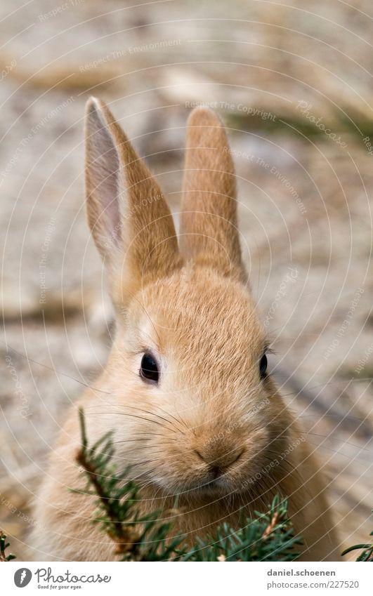 Osterhasi Tier Haustier 1 schön weich Ostern Osterhase Hase & Kaninchen Ohr Tierporträt Blick Blick in die Kamera Blick nach vorn Hasenohren Auge Nase hellbraun