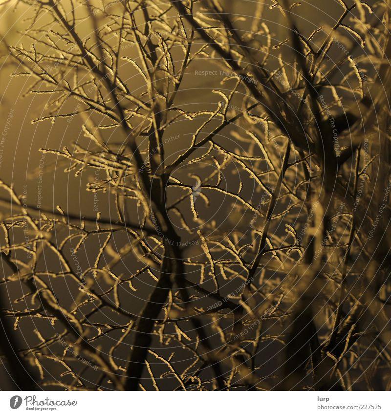 Gewirr Natur Baum Pflanze Winter gelb kalt Umwelt Holz braun Sträucher Frost Ast Licht laublos