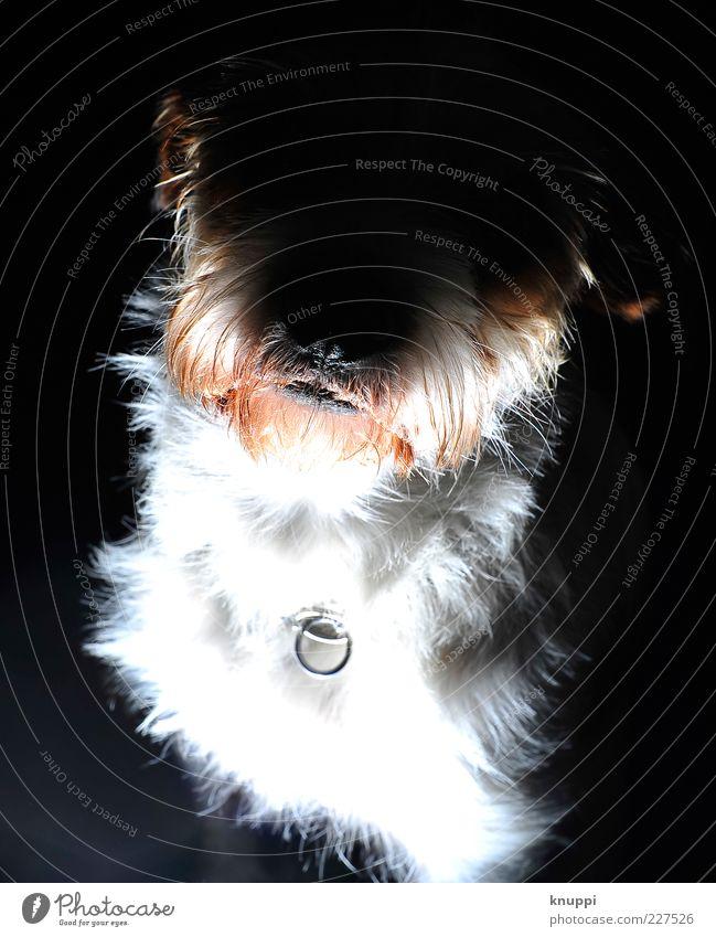 Der Hund von Baskerville weiß rot Tier schwarz wild Tiergesicht Neugier Fell gruselig Haustier frech Hundeschnauze Hundeblick