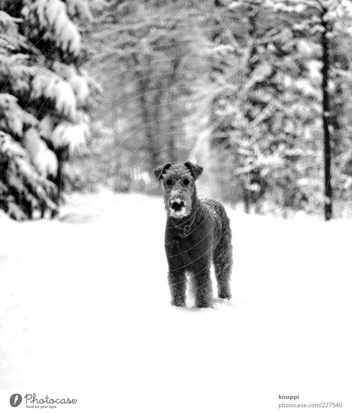 kaltschnäuzig Natur weiß Winter Tier schwarz Wald Schnee Hund warten stehen niedlich Tiergesicht Neugier Fell Fußweg Haustier