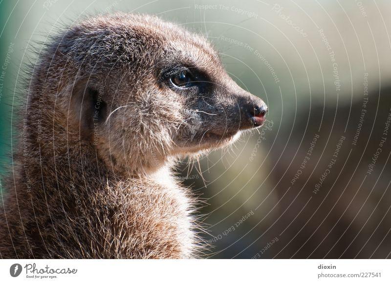 wachsam (Suricata suricatta N°2) schön Tier Auge Nase natürlich Wildtier Ohr Tiergesicht beobachten Fell Vertrauen Wachsamkeit Kontrolle kuschlig Vorsicht Schnauze