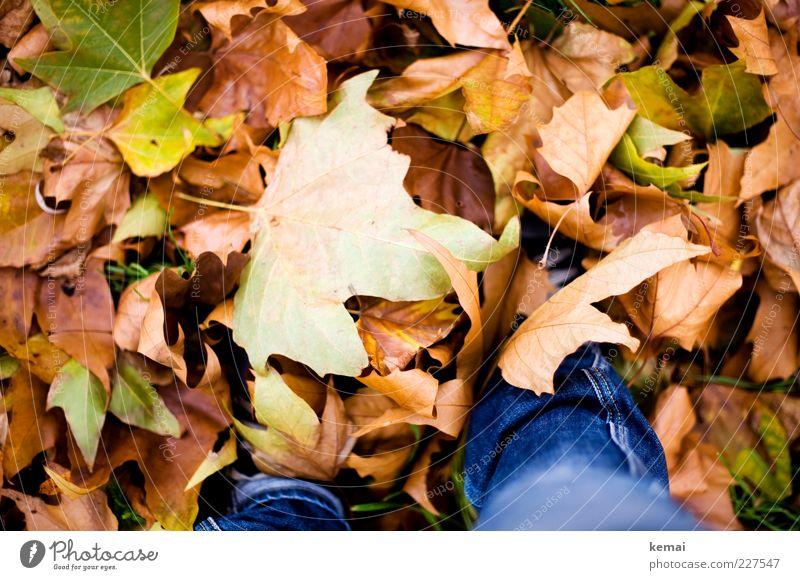 Blattgrößen Umwelt Natur Pflanze Herbst Klima Grünpflanze Wiese Jeanshose liegen braun mehrfarbig grün Haufen gefallen herbstlich Herbstlaub Farbfoto