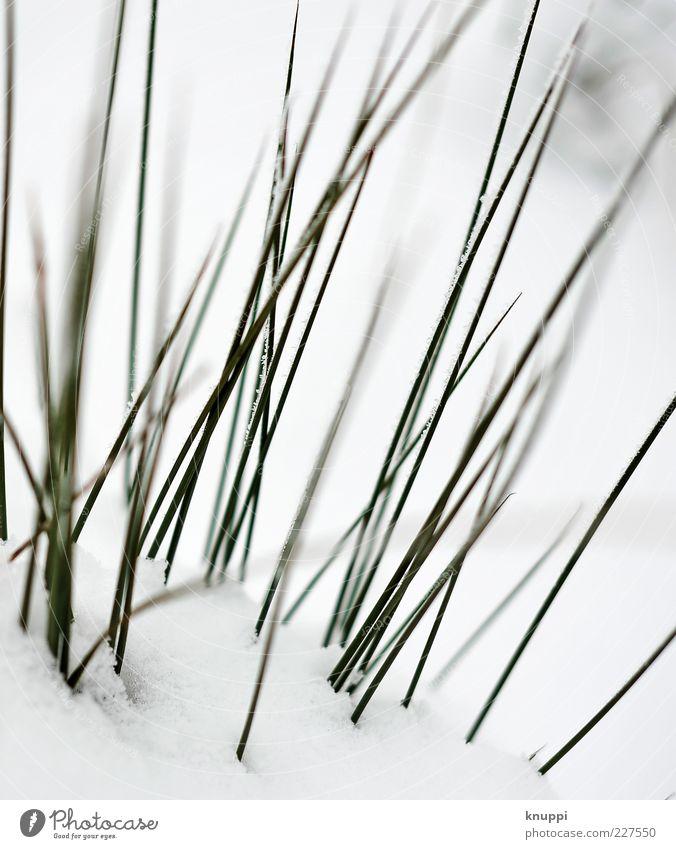 Stachel Umwelt Natur Pflanze Sonne Sonnenlicht Winter Gras Grünpflanze Wildpflanze Wiese elegant Spitze stachelig grün schwarz weiß dunkelgrün Schnee Farbfoto