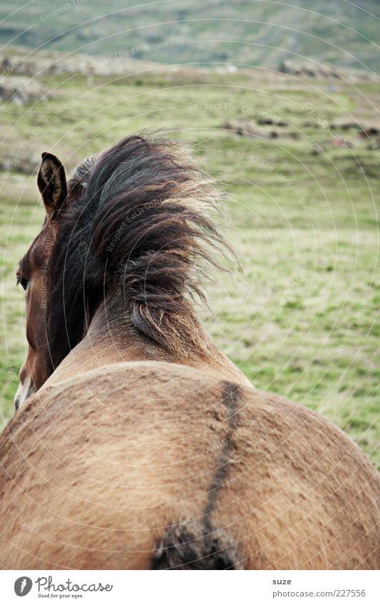 Dickes Ding Tier Wiese braun warten Wind Pferd ästhetisch stehen Rücken Hinterteil wild natürlich Fell Wildtier Island Ponys