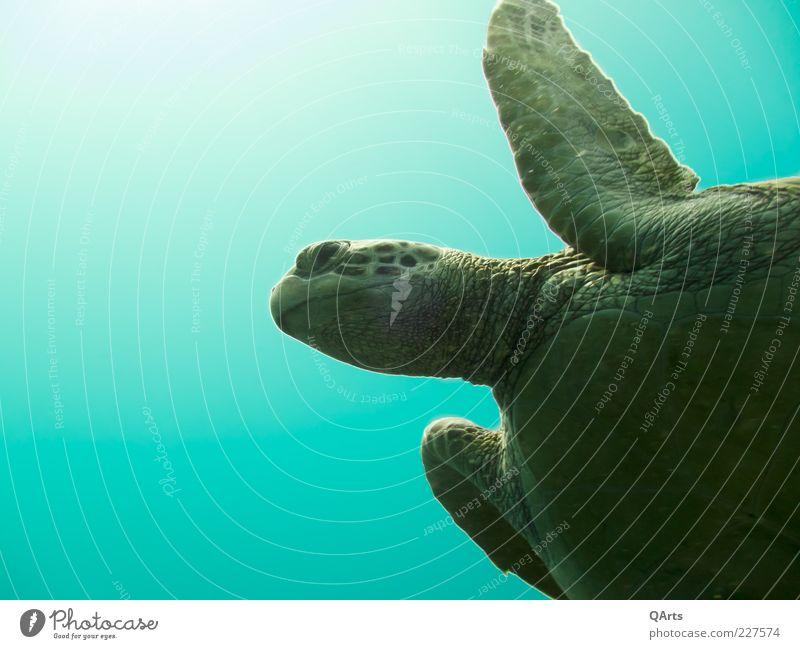 Schildkröte Natur Wasser grün Meer ruhig Tier Umwelt Kopf Schwimmen & Baden frei tauchen türkis exotisch Unterwasseraufnahme Reptil gigantisch