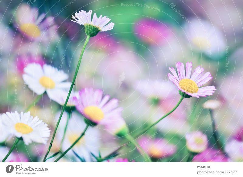 pink daisy Natur Frühling Sommer Pflanze Blume Blatt Blüte Gänseblümchen Duft fantastisch frisch schön rosa Frühlingsgefühle Leichtigkeit Farbfoto Außenaufnahme