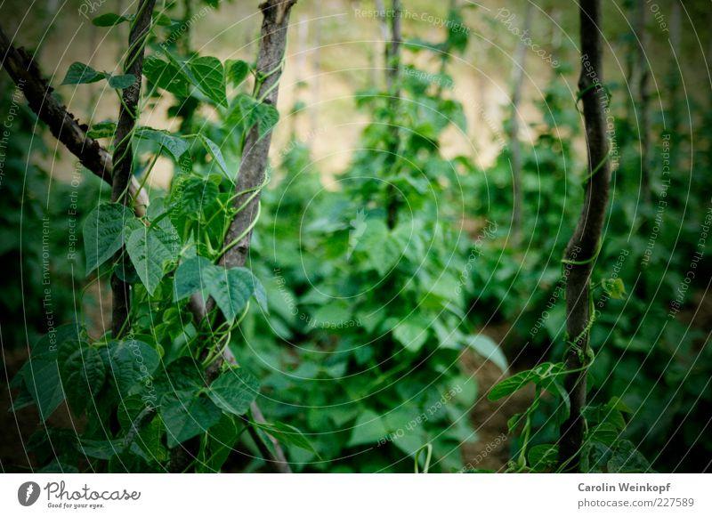 Böhnchen. Lebensmittel Gemüse Bohnen Hülsenfrüchte Ernährung Bioprodukte Umwelt Natur Erde Sommer Pflanze Blatt Grünpflanze Nutzpflanze frisch Gesundheit lecker