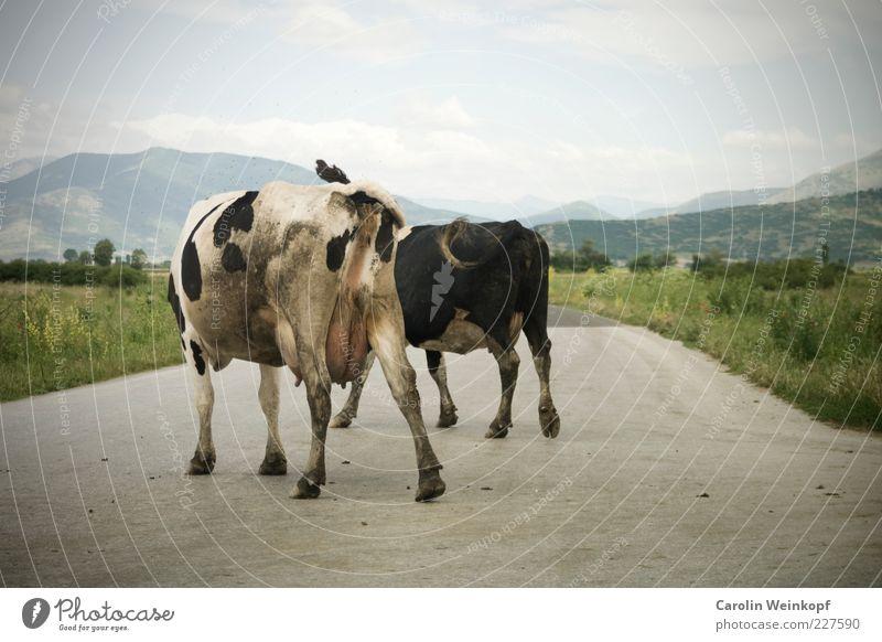 Blockade. Fleisch Ernährung Bioprodukte Ausflug Sommer wandern Landschaft Himmel Wolken Horizont Schönes Wetter Verkehr Verkehrswege Straße Tier Nutztier Kuh 2
