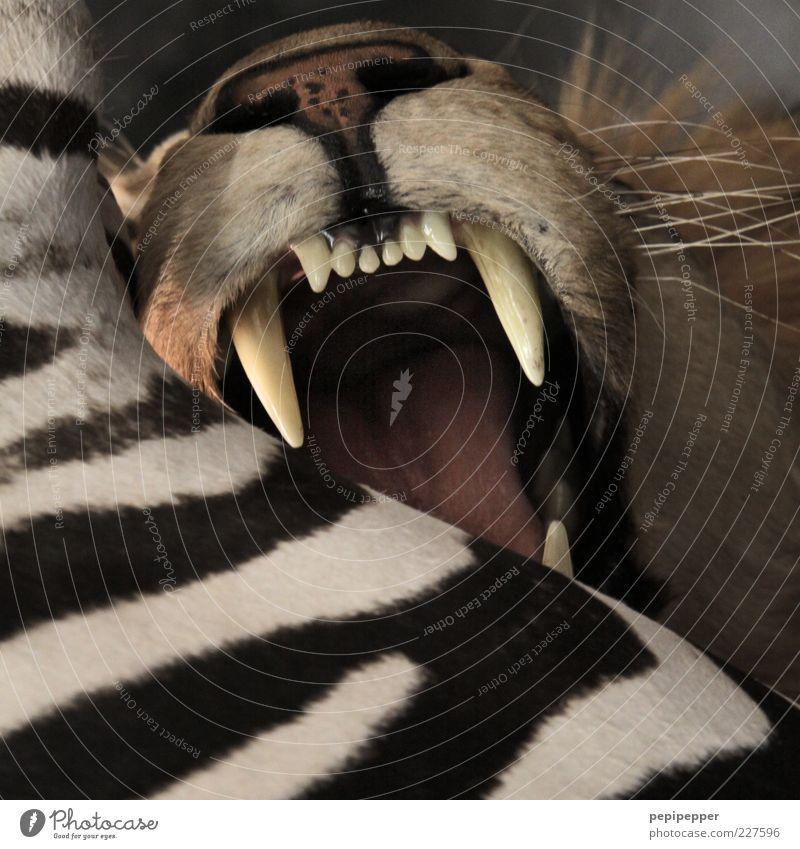 Fastfood Sommer Tier Katze Wildtier bedrohlich Zähne Tiergesicht Fell fangen Gewalt Jagd stark Fleisch kämpfen Fressen Aggression