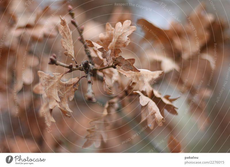 Winter Oak Umwelt Natur Pflanze Herbst Baum Park Wald alt trocken braun Schutz Gelassenheit Trauer Senior kalt Wachstum Wandel & Veränderung Eiche Eichenblatt
