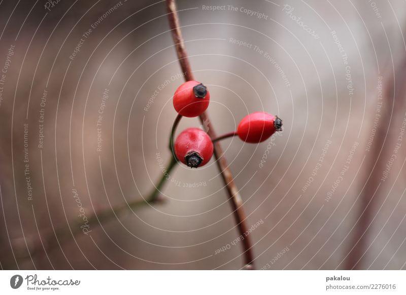 3 lustige Hagebutten Umwelt Natur Herbst Winter Pflanze Rose Frucht Park Wald leuchten Erfolg rot Mut Gesundheit Gesundheitswesen kalt Zusammenhalt