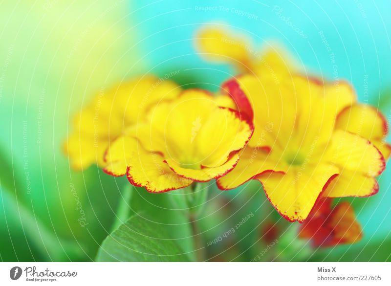 Grelle Primel Pflanze Frühling Blume Blatt Blüte Blühend Duft Wachstum mehrfarbig gelb Primelgewächse Blütenblatt Frühblüher Frühlingsblume Frühlingsfarbe grell