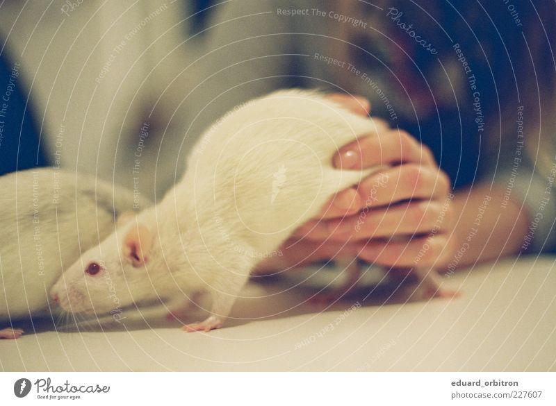 Dialektik der Aufwärmung Hand 1 Mensch Tier Haustier Ratte 2 Spielen Farbfoto Gedeckte Farben Innenaufnahme Nahaufnahme Kunstlicht Schwache Tiefenschärfe