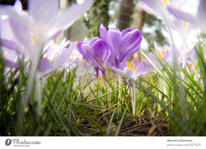 nur kein Neid !! Natur grün Pflanze Wiese Gras Blüte Frühling Klima violett Blütenblatt Krokusse Blume Makroaufnahme Frühlingsblume Frühlingsfarbe