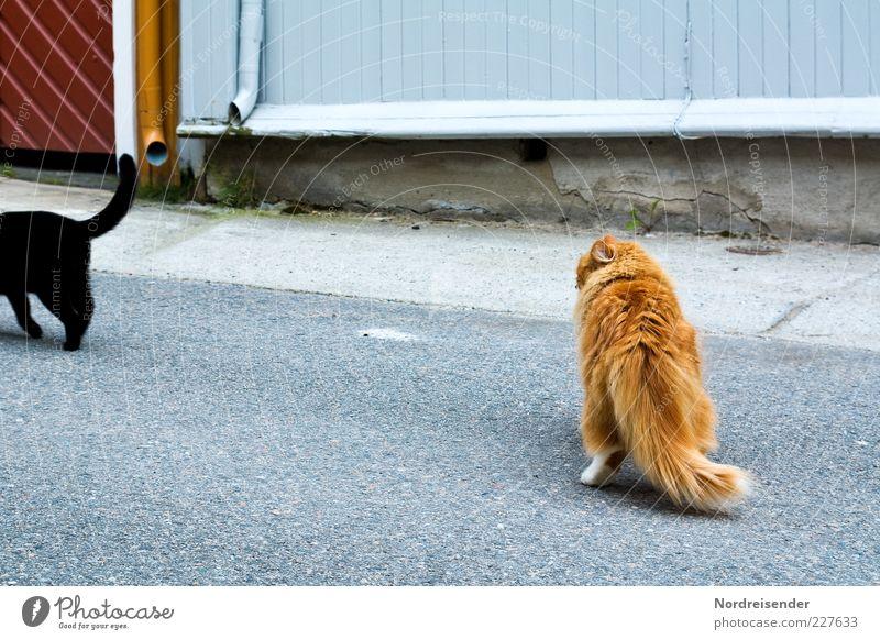 Macho schön Tier schwarz Straße Katze Wunsch beobachten Neugier Sehnsucht Hinterteil Partnerschaft Haustier kuschlig Schwanz Begierde Hauskatze
