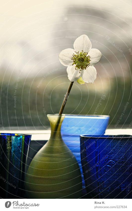 Warten auf den Frühling Blume Christrose Vase blau grün Fenster Fensterbrett Stillleben Farbfoto Innenaufnahme Menschenleer Textfreiraum oben Gegenlicht