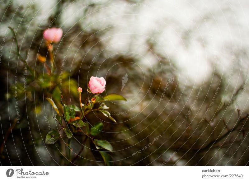 last roses Umwelt Natur Pflanze Blume Sträucher Rose braun rosa Strauchrose Farbfoto Außenaufnahme Detailaufnahme Menschenleer Textfreiraum rechts