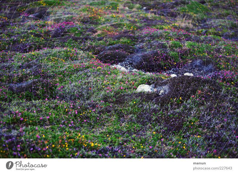 Naturteppich schön Pflanze Ferien & Urlaub & Reisen Gras Stein authentisch Sträucher Blühend Moos Blumenwiese Heide Bretagne Wildpflanze Bergheide Ginsterblüte