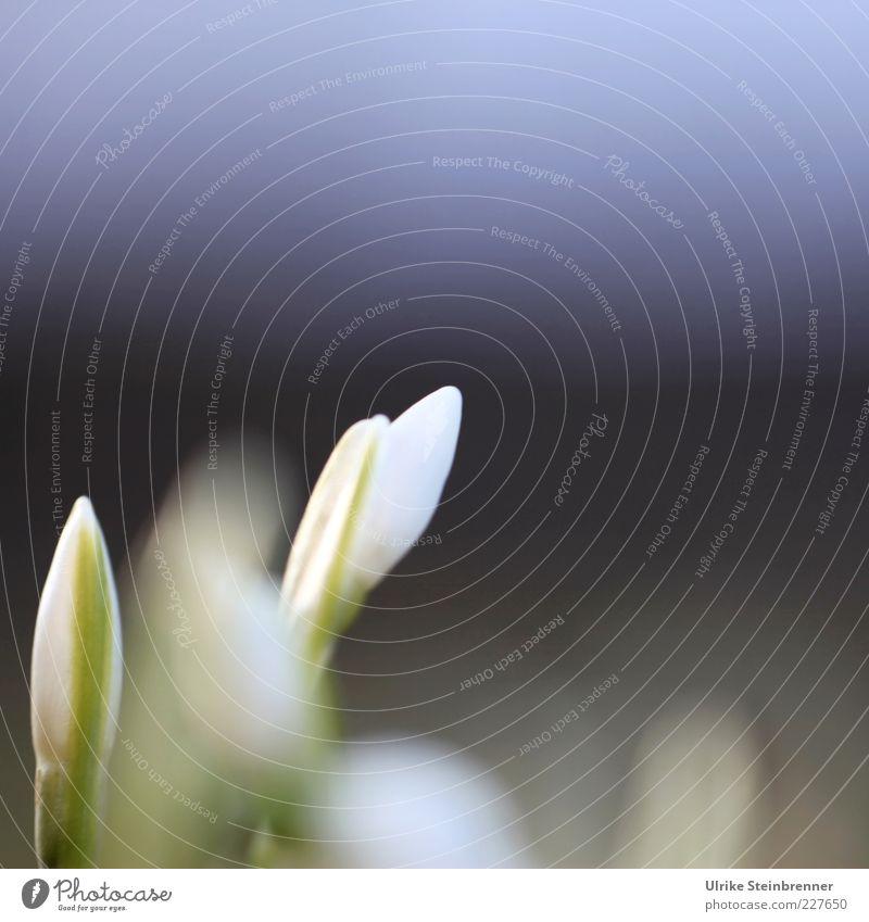 Zarter Durchbruch weiß grün schön Pflanze Blüte Frühling geschlossen Beginn frisch ästhetisch Wachstum Spitze Blühend Duft Blütenknospen Blütenblatt